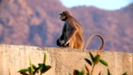 Langur monkey in the Indian city video