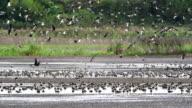 Lapwing flock video