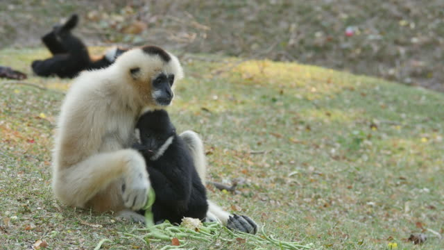 Lar Gibbon with it's cub. video