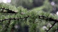 larch branch (Larix decidua polonica) video