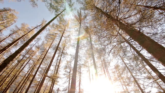 Larch forest at sunset video