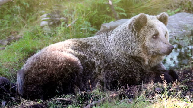Large adult brown bear relaxing in the forest video