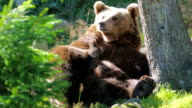 Large adult brown bear rests and scratching in the forest video