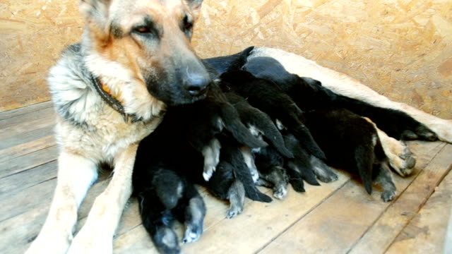Large adult dog Shepherd feeds its puppies video