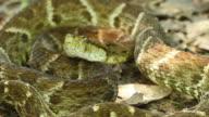 Large adult Fer de Lance (Bothrops atrox) video