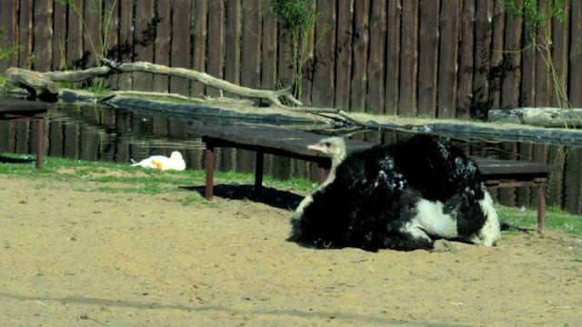 A large African ostrich (bird) lies on the sand in the courtyard of the zoo. Ostrich rubs the sand on his neck and body. video