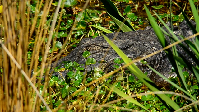 Large alligator, appearing to be napping, then its eye opens video