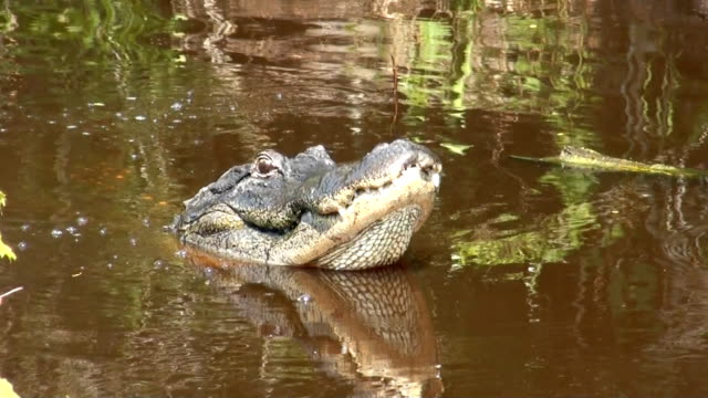 Large alligator popping its jaws video