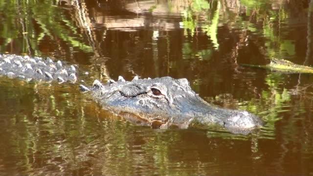 Large American Alligator video