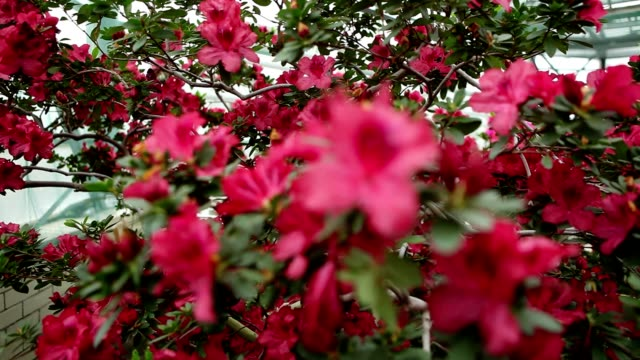 Large Azalea Bush With Plenty of Red Flowers Focus Change video