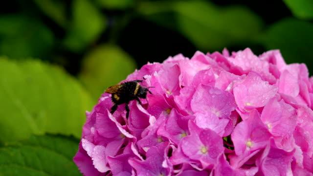 Large bee on a flower hydrangea video