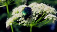 Large beetle on flower video