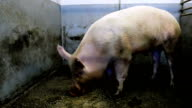Large breeding hog in the pen video