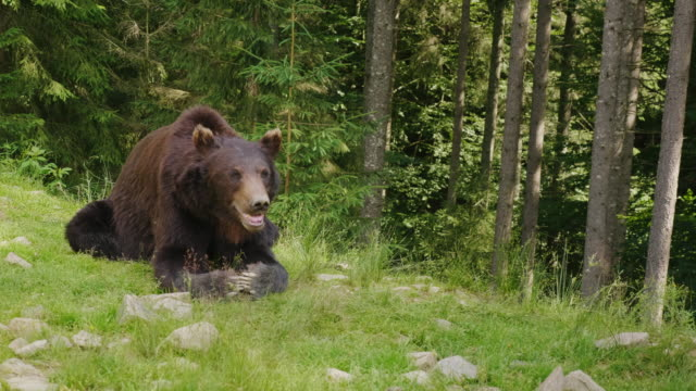 A large brown bear rests on a glade. Forest in the background. Wild life of the forest video