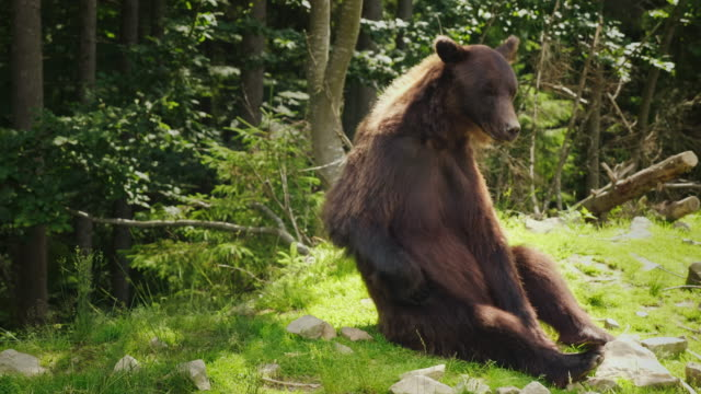 A large brown bear sits on the back and scratches its side with its paw. Funny wild animals video