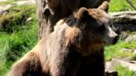 Large Brown Bear video