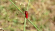 Large dragonfly video
