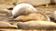 Large Elephant Seal Male Chooses Female During Mating Season video