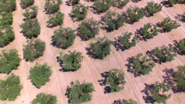 AERIAL: Large field of olive trees in sunny Provence video