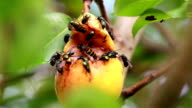 Large flies and a bee flocking at the rotten fruit video