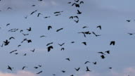 Large Flock of Birds. A flock of birds against the sky. Gradually increasing the number of birds video