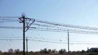 Large flock of birds on a electrical wir video