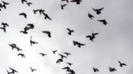Large Flock of Birds video