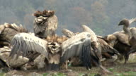 Large flock of Griffon Vultures eating carcass in the mountain video