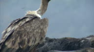 Large group of Griffon Vultures eating carcass in the mountain range video