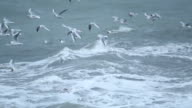 Large flock of birds Sea gulls flying over storm waves in the sea near to the coast video
