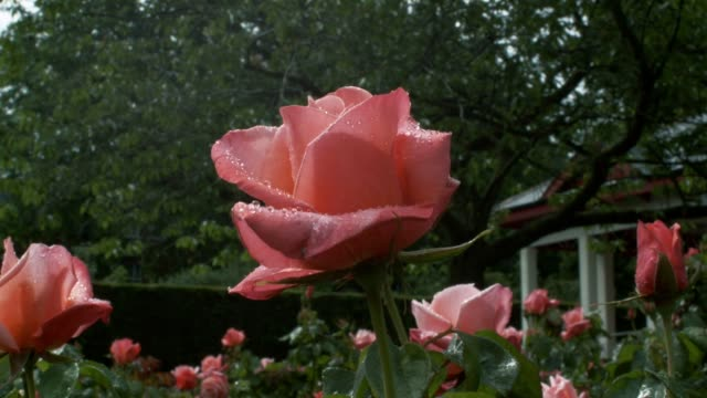 A Large flowering Silver Jubilee rose covered in raindrops. video
