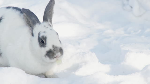 Large fluffy rabbit eats cabbage leaf spots on the white snow video