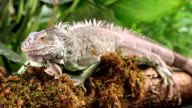 Large Green Iguana on a mossy branch video