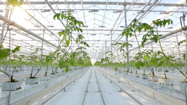 A large greenhouse, a lot of long rows of plants. video
