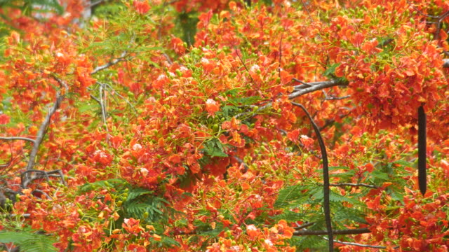 large group of Flame Tree flowers and wind video
