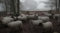 Large group of sheep in a misty autumn forest video
