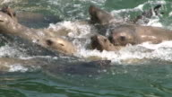 Large group of Steller Sea Lions video
