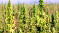 HD: Large hemp plants growing on sunny day video