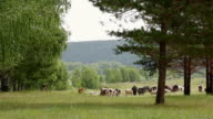 A large herd of cows with sheep grazing near forest edge video