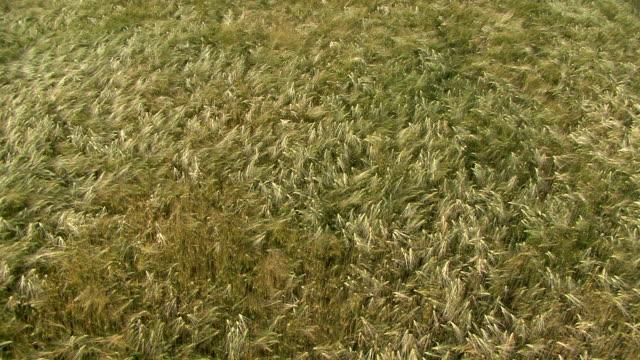 Large hight angle shot of a cornfields video