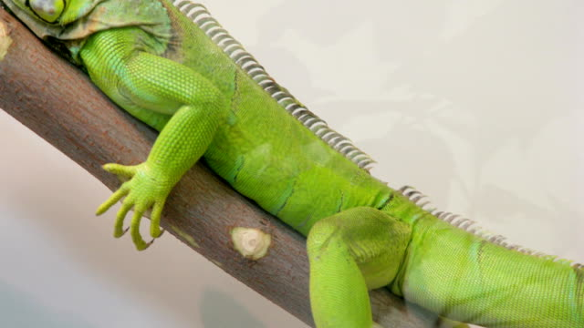A large iguana sitting motionless on a branch in the aviary video