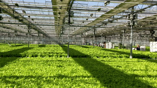 Large industrial greenhouses, green beds, people are working in the background. video