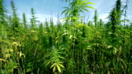 HD: Large industrial hemp plants video