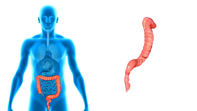 Large Intestine video