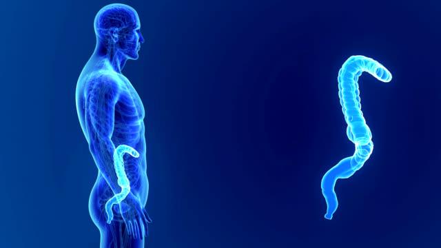 Large intestine zoom with Anatomy video