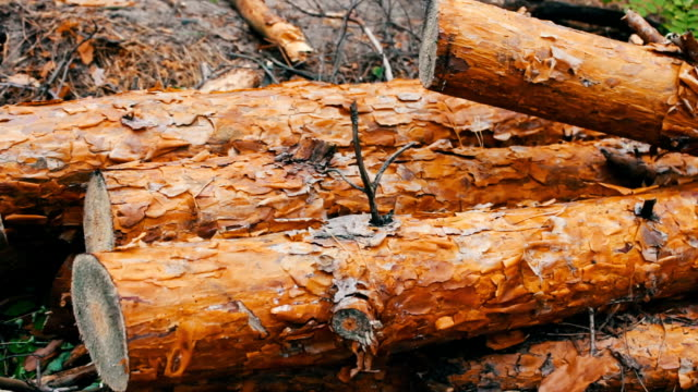 Large logs felled in the forest on the ground. The problem of deforestation.Felled tree trunks in the forest video