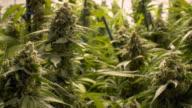 Large Marijuana Buds On Indoor Plants video