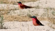 Large nesting colony of Nothern Carmine Bee-eater video