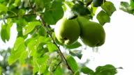 Large pears hanging on the tree. video