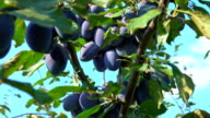 Large plums on the tree video